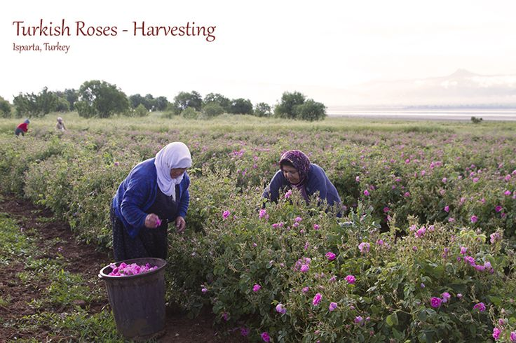 Turkish Roses and Rose Oil (Part I) - Sleepy and Muddy, but Smelling Pretty » Reflections Enroute