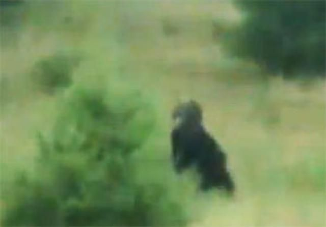 A gallery of videos that might show evidence of Sasquatch, Yeti and Skunk Ape.