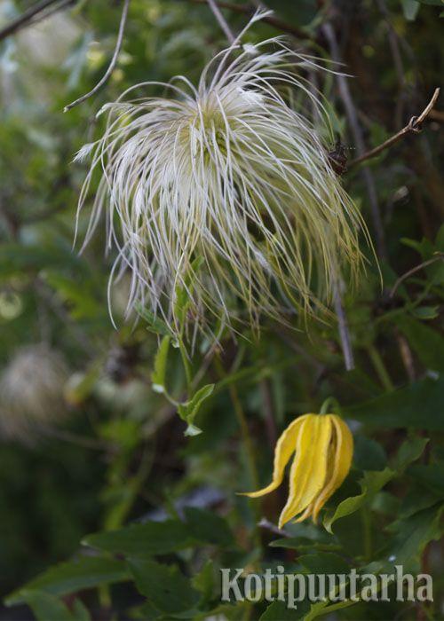 Kiinankeltakärhö (Clematis tangutica) www.kotipuutarha.fi