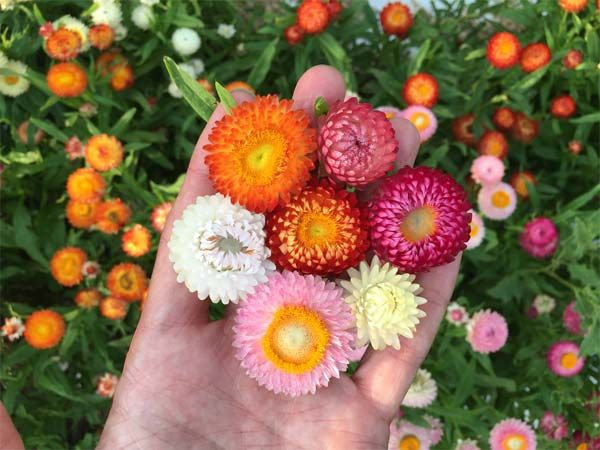 """Annual. Dwarf Strawflowers in mixed colors. Scaled-down plants reach about 15"""" tall, thrive in hot and dry conditions."""