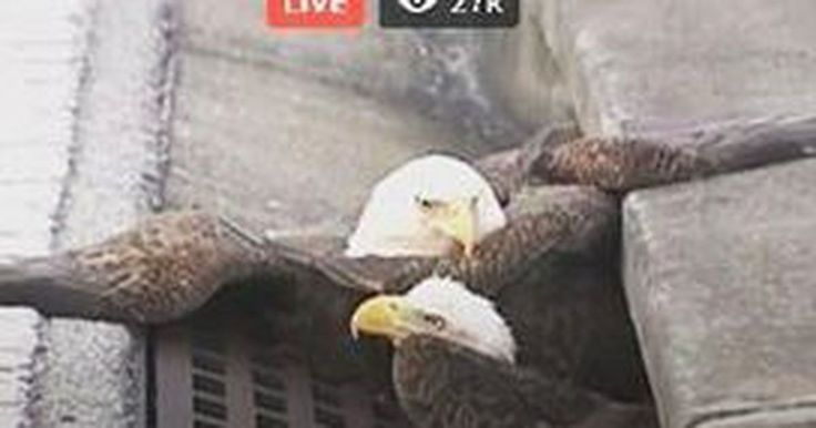 USA. Today, November 11, 2016, a couple bald eagles got stuck in Florida storm drain. Coincidence? Or a sign of the times?