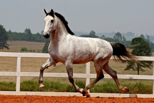 """trotting gray horse - what I envision for Tanzy's horse """"moonlit"""""""