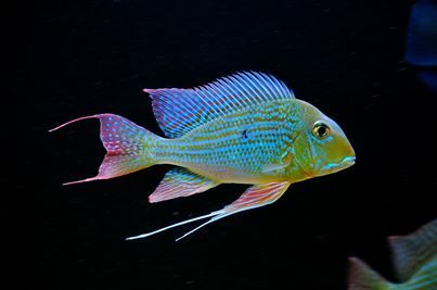 Geophagus Alitfrons