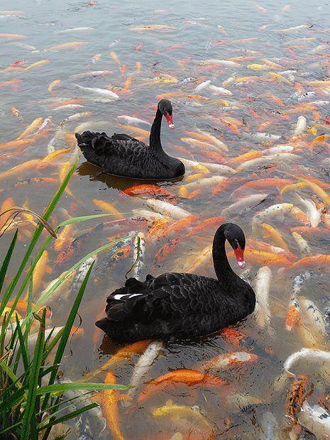 Two black swans on a carpet of goldfish. This photo almost looks surreal - more like a painting - and would give even an avid puzzler a challenge.