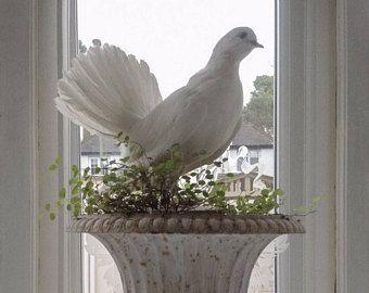Paar weiße Jahrgang Pfauentaube Präparatoren Tauben