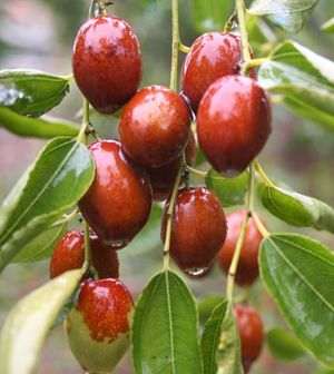 Jujube fruit is actually a nutritional abundant food nature has provided us to help keep a great health. Let us discover main health advantages of consuming Jujube.
