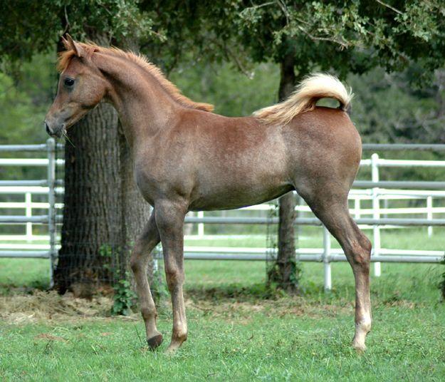Arabian Horses for Sale | Egyptian-Arabian-colt-for-sale-Al-Zarif-LDA