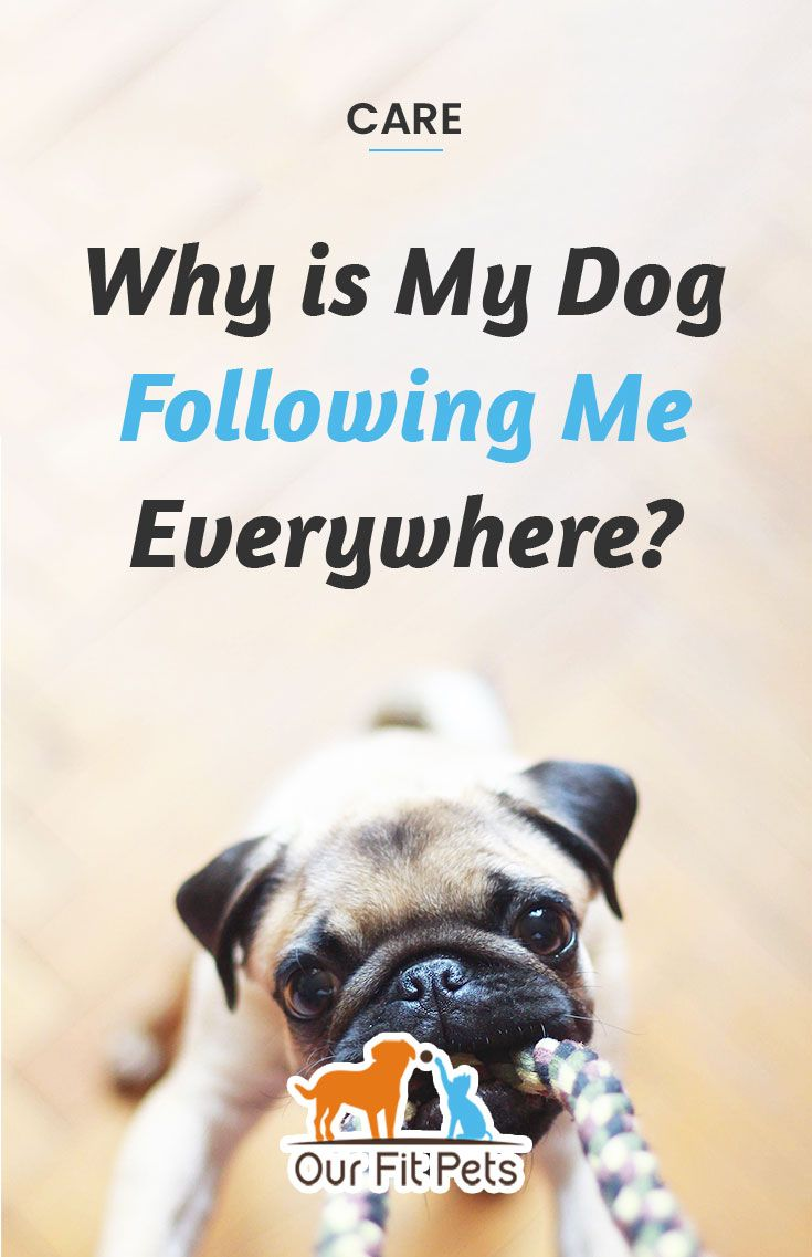 Why Is My Dog Following Me Everywhere Our Fit Pets In 2020 Dogs Cat Advice Pet Parent