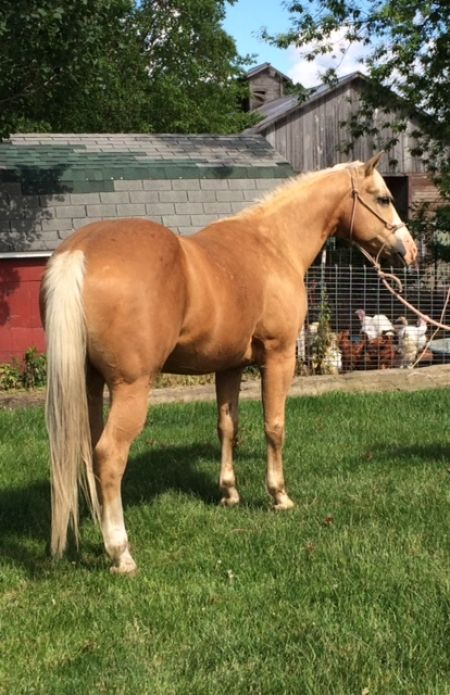 "American Quarter Horse for Sale in Iowa: OLF COMEBACK KID. Topnotch breeding, great ranch experience. ""Cisco"" has been used to AI cows, sort, pair out. He's drug calves at branding, roped and doctored in the pasture. He's gone through hills, creeks, over logs and rough terrain with no problem. View all photos here: https://myhorseforsale.com/horses-for-sale/details/?hid=30377&utm_content=bufferd7219&utm_medium=social&utm_source=pinterest.com&utm_campaign=buffer ."