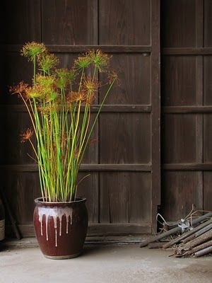 Cyperus papyrus became extinct in Egypt. The modern technique of papyrus production used in Egypt for the tourist trade uses reintroduced plants.   Still used by communities living in the vicinity of swamps. People harvest papyrus to manufacture items sold or used locally: baskets, hats, fish traps, trays and floor mats. Papyrus is also used to make roofs, ceilings, rope and fences. Although alternatives, such as eucalyptus, are increasingly available, papyrus is still used as fuel