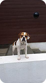 Perrineville, NJ - English Bulldog/Beagle Mix. Meet Zeus a Dog for Adoption.