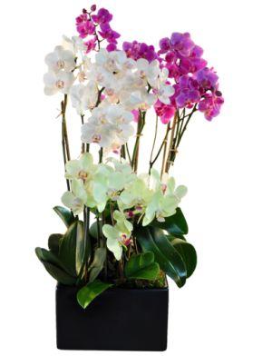 Exotic Phalaenopsis orchid flower