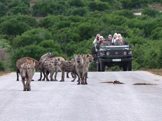 Spotted Hyena Sighting in Addo Elephant Main Park. South Africa