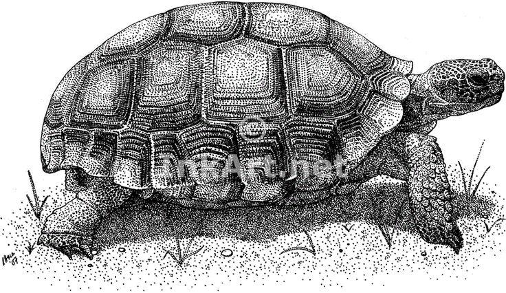 Turtle Line Drawing Tattoo : Desert tortoise gopherus agassizii line art and full