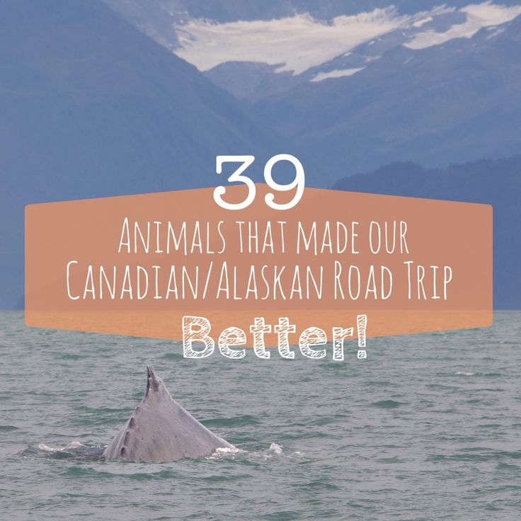 Animals in Canada & Alaska you cannot miss!!