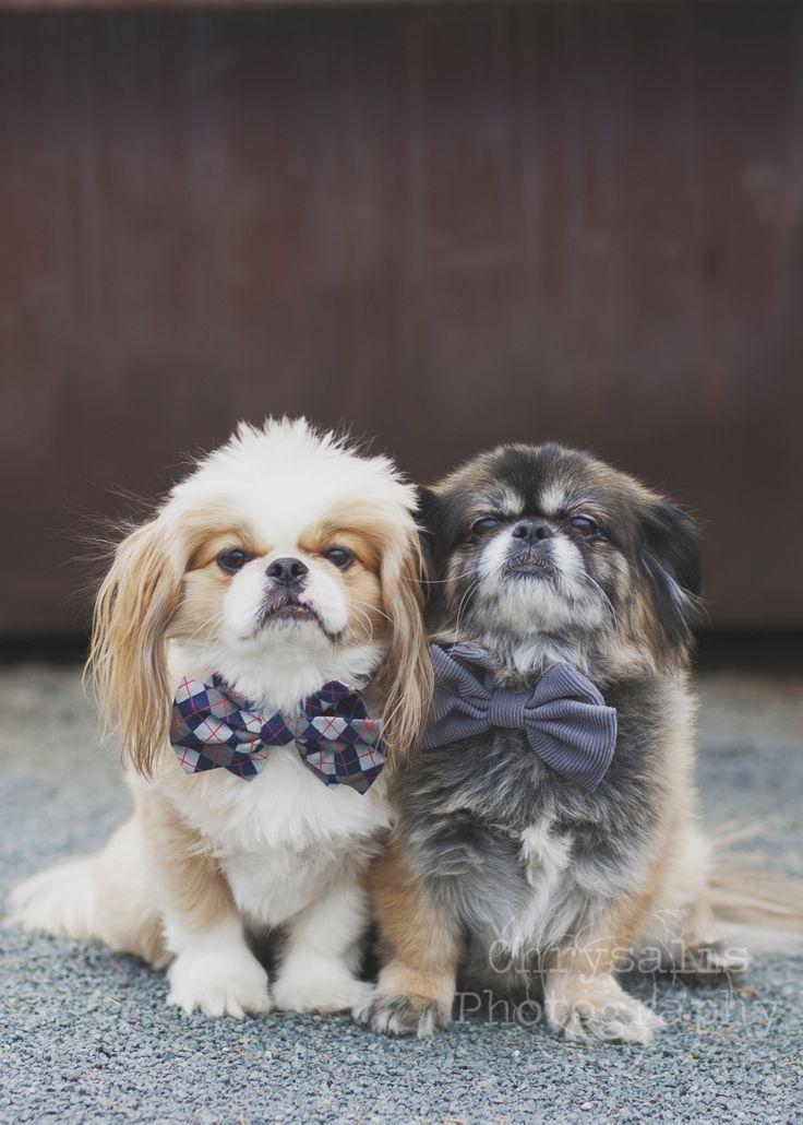 Pekingese Pups Happy Holidays!! www.chrysalis-photography.com