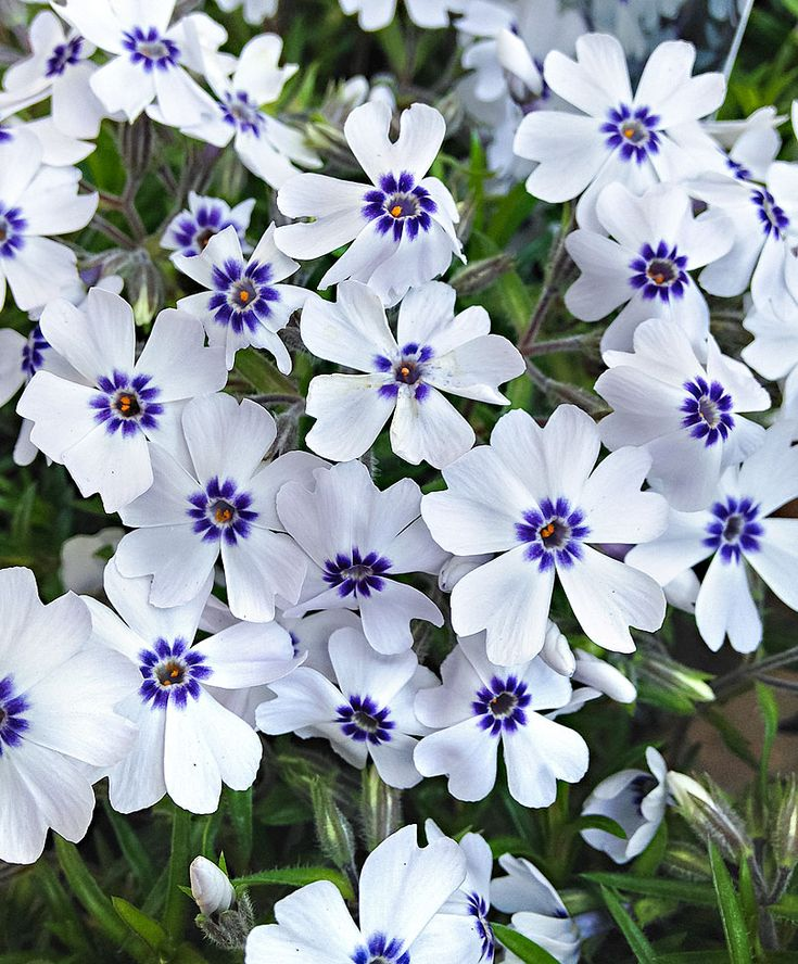Creeping Phlox 'Bavaria' | Plants from Bakker Spalding Garden Company
