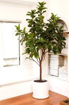 These Easy Indoor Plants Add Green Beauty to Your Home!   Ficus Trees: This indoor tree has shiny leaves to add cheer to any indoor space. Its stems can be braided for a tidy topiary effect we love. This tree likes full sun, or at least bright filtered light. Most varieties (there are about 800!) prefer several days of dry soil in between thorough watering.