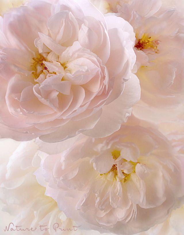 Leinwandbild Englisches Rosentrio mit großem Duft! http://www.nature-to-print.de/blumen/flora/englische-rosen/kunstdruck-rosenbild-gentleharmione5756b.php