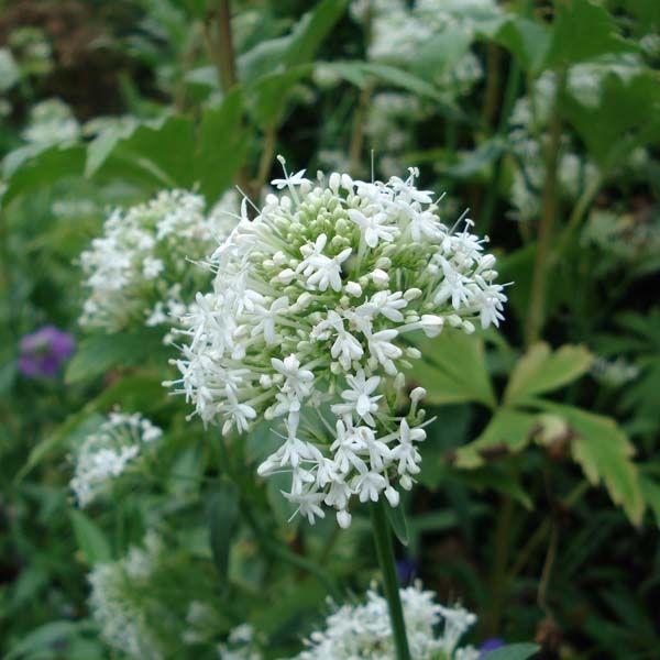 705 best plantes m dicinales images on pinterest herbal plants plants and ginger plant. Black Bedroom Furniture Sets. Home Design Ideas