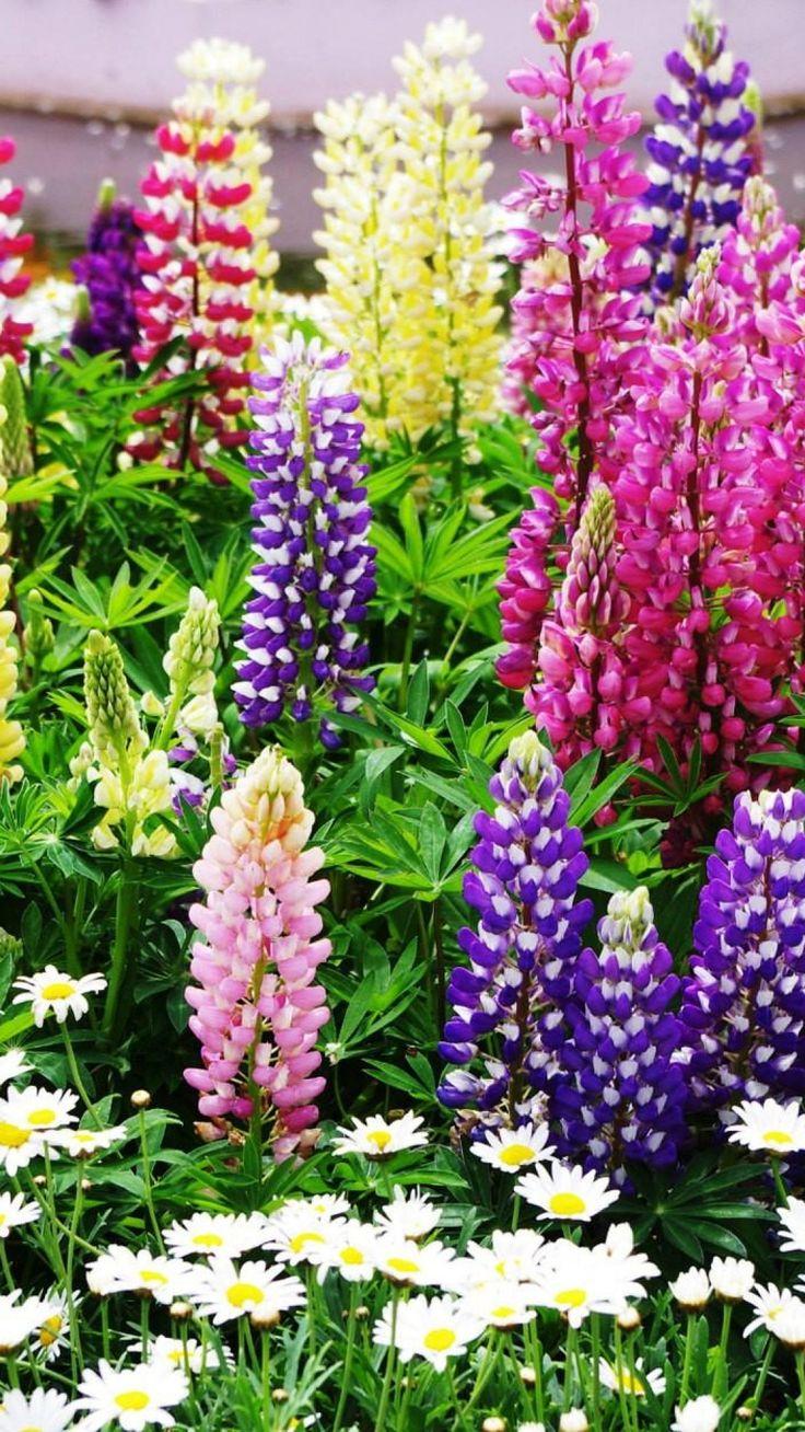 lupines, daisies, flowers, herbs, lawn