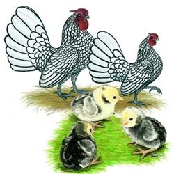 Chickens for Sale | Silver Laced Sebright Bantam Chickens | Bantam Chicken Breeds