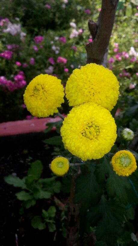 Pompones amarillos 5