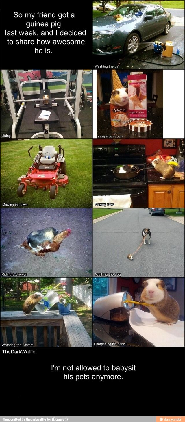 I really shouldn't laugh this hard over pictures of a guinea pig....but this is too funny!