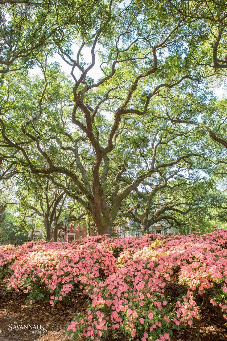 Springtime Turns Savannah Georgia Into A Vibrant Wonderland With Blooming Azaleas
