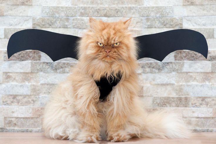 Gato com cara de bravo faz sucesso na internet