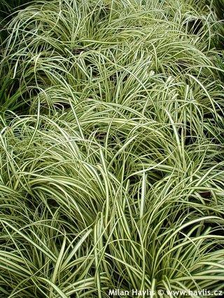 Carex oshimensis - Ostřice
