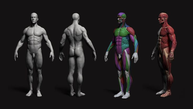 Anatomy Male Tool Reference for Artists ! by pascal ackermann | Realistic | 3D | CGSociety