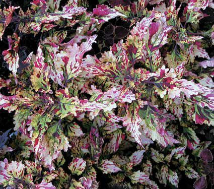 A dramatic sport of 'Sizzle' discovered in our greenhouses by staff member Rob Storm. Its pattern of cream, yellow, and burgundy works well with other Coleus and will enliven a border all season. Exclusive.  The endlessly colorful foliage of Coleus is making a comeback as gardeners rediscover old varieties and breeders introduce new ones. Our selection offers a diversity of foliage color, leaf shape, and growth habit, and they all make glorious container subjects. Though most tolerate fu