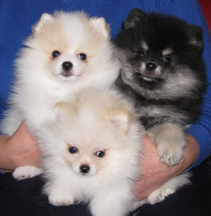 pomeranian+puppies | White Pomeranian Puppy - m5x.eu