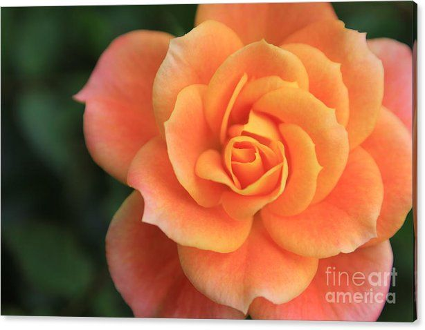 Buy a 36.00 x 24.00 stretched canvas print of Sverre Andreas Fekjan's Pink and orange rose for $99.00.  Only 4 prints remaining.  Offer expires on…