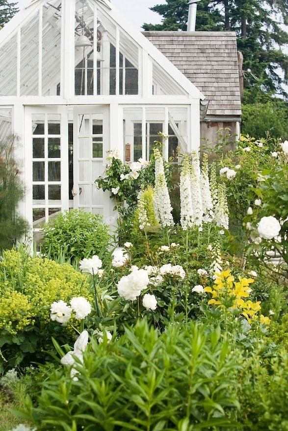 Greenhouse with white delphiniums and peonies