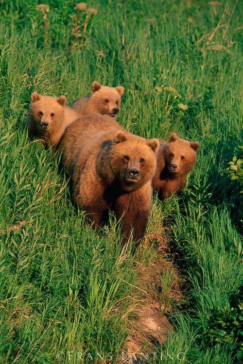 Brown bear mother and cubs, Katmai National Park, Alaska