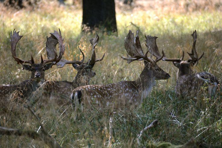 Fallow deer, Dyrehaven, Klampenborg, Denmark. #FallowDeer #Dådyr #Dyrehaven #HenryRasmussen