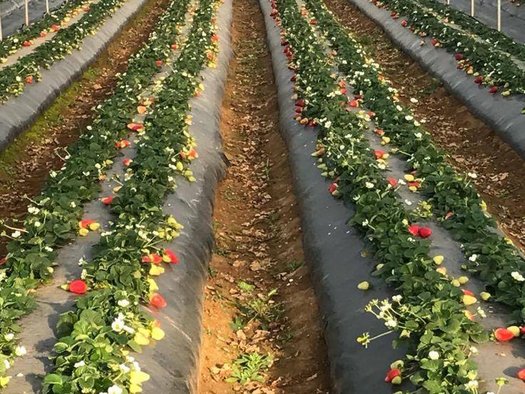 Nei nostri campi in #Basilicata, le piantine generano #fragole costantemente, da gennaio a giugno. Vengono selezionate e raccolte, solo le fragole maturate al punto giusto. Nella foto i campi dell'azienda agricola Fresh Fruit socia del #ClubCandonga