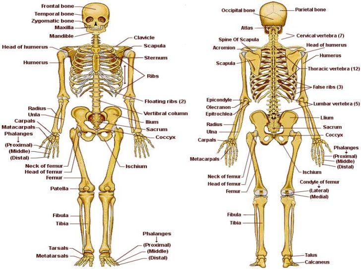Resultado de imagen para esqueleto humano