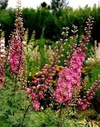 Delphinium Astolat- Riddersporen houden van volle zon, bloeien in juni-juli, worden 2 meter, zijn winterhard, houden niet van winderige plaatsen en steunen is noodzakelijk. Zorg voor een goede vruchtbare en doorlatende bodem die rijk is aan compost. (kleigrond)