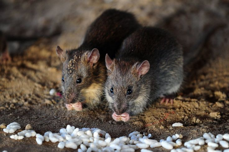 According to a new study, rats can laugh. Now, I was taught that risibility is distinctly human.