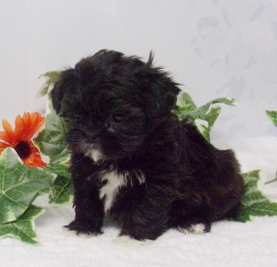 Milo Is A Male Shih Tzu Puppy For Sale At Puppyspot Call Us Today