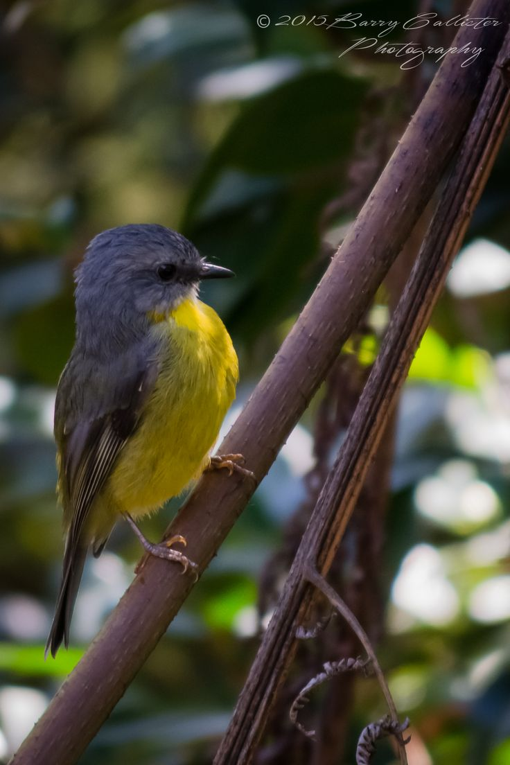 An Eastern Yellow Robin in the garden at my house.