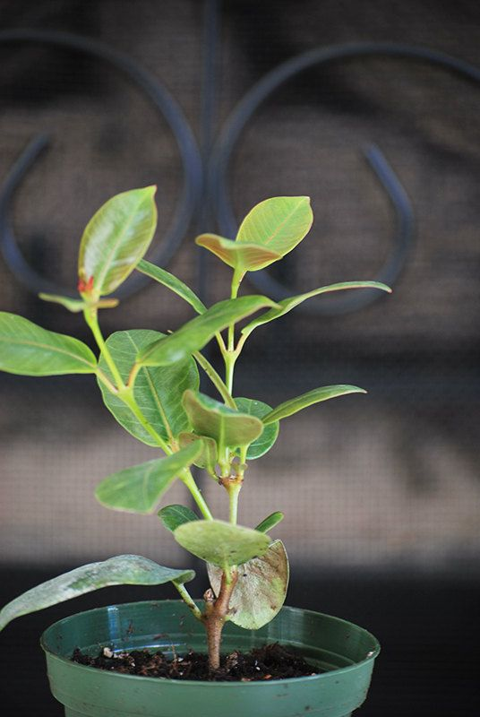 Live Red Brazilian Jasmine Plant  Indoors/Out  by 9GreenBox, $10.99