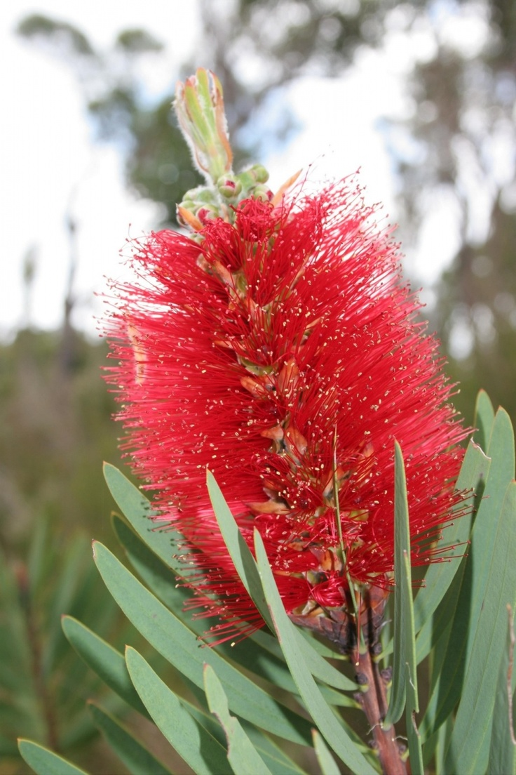 Bottlebrush flower. I just think it's so unique and cool.