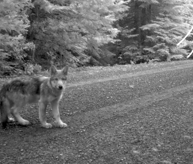 This July 12, 2014 image released by the U.S. Fish and Wildlife Service, shows what is believed to be a pup of Oregon's famous wandering wolf OR-7 seen in a screen grab from a remote trail camera in Rogue River-Siskiyou National Forest, Oregon.