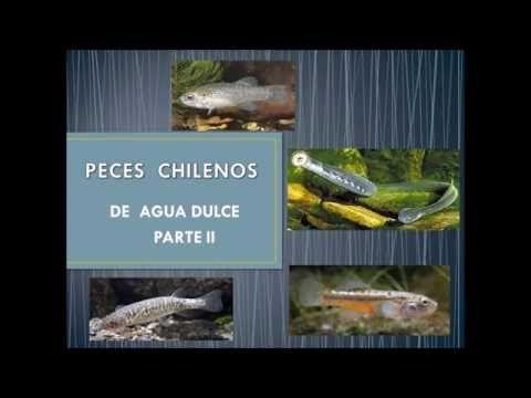 Peces  de Agua Dulce Chilenos  2da. Parte