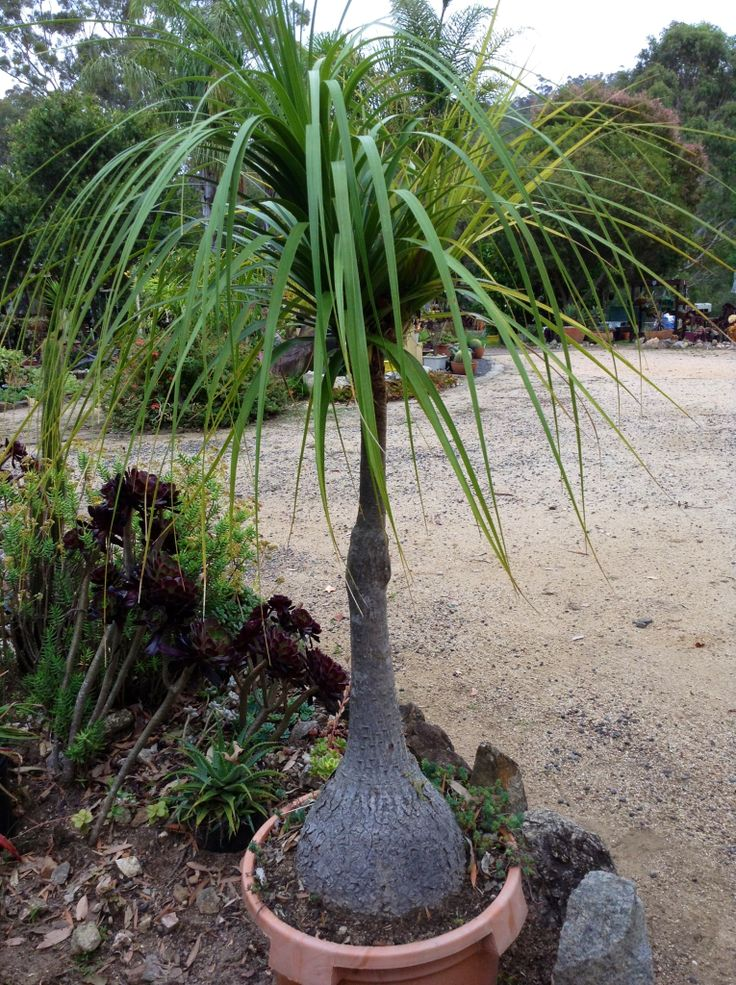 1000 images about pachyforms on pinterest the o 39 jays for Beaucarnea recurvata