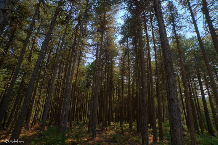 Mediterranean pine forest, mountain Parnon, Sparta - Mediterranean pine forest…